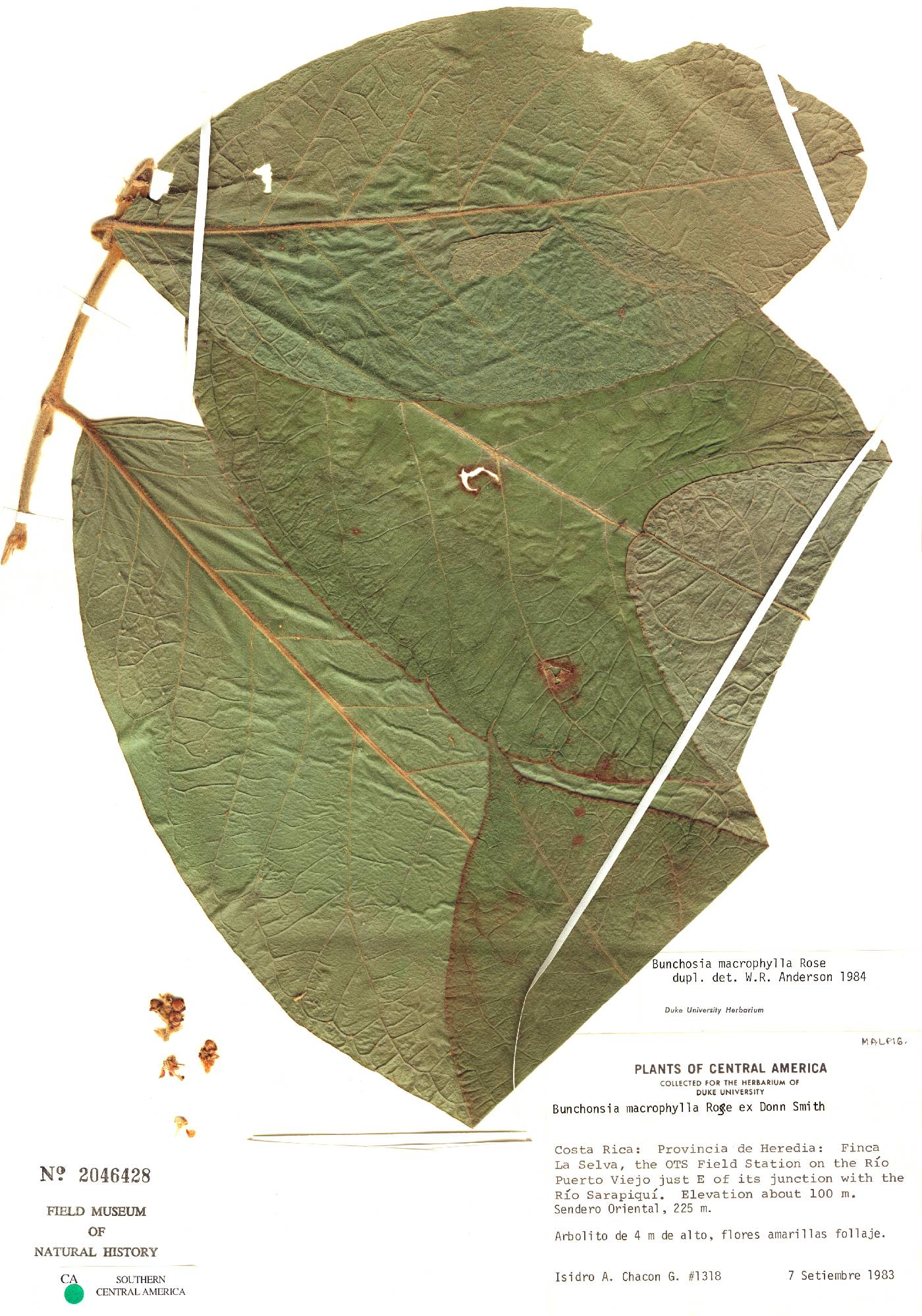 Bunchosia macrophylla image
