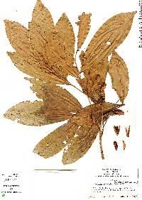 Trichilia quadrijuga image