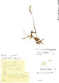 Epidendrum caroli image
