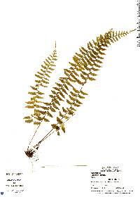 Asplenium pteropus image
