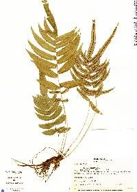 Blechnum occidentale image