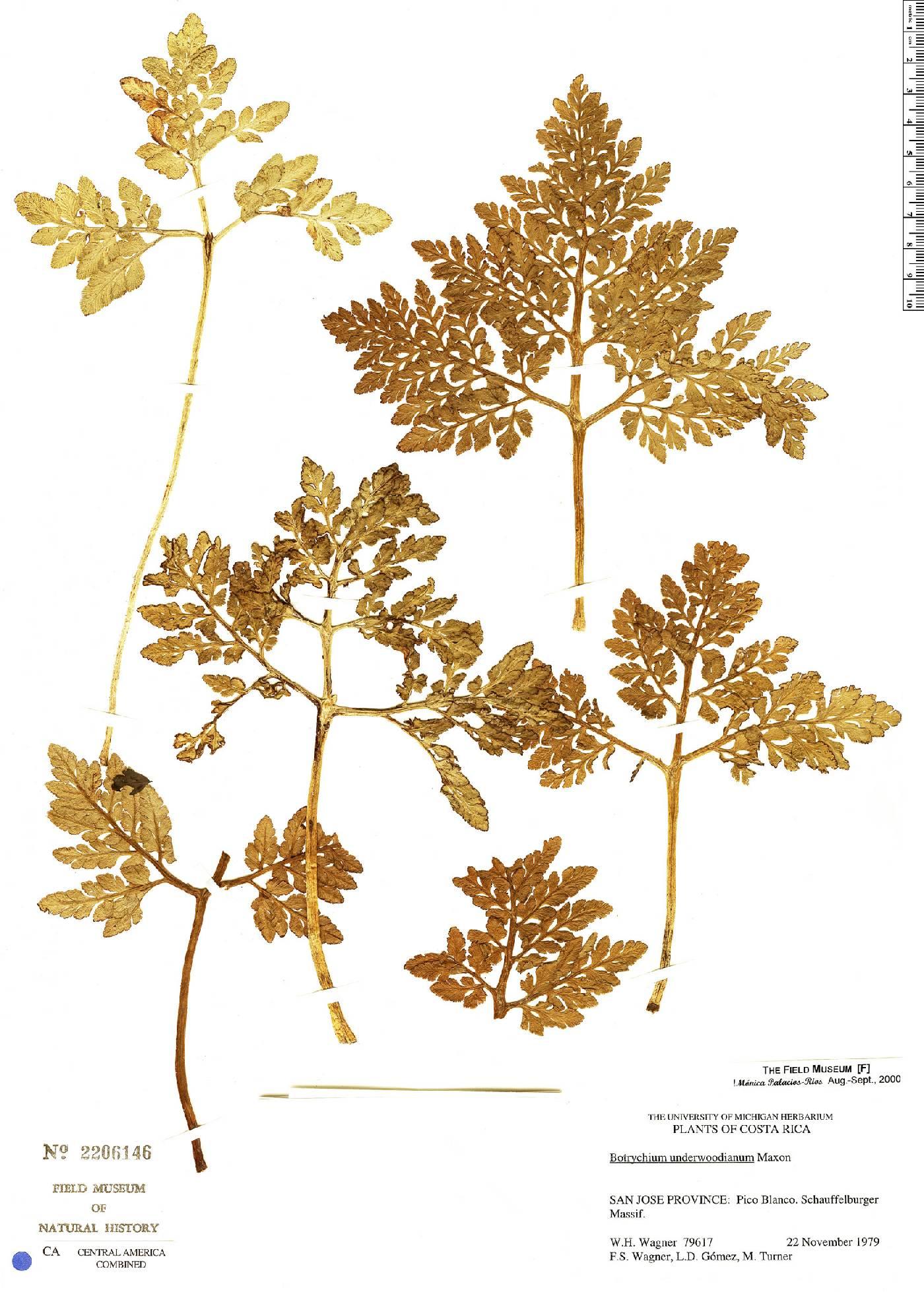 Botrychium underwoodianum image