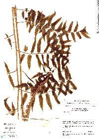 Cyathea conformis image