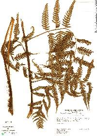 Cyathea gracilis image