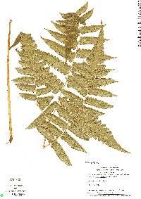 Cyathea petiolata image