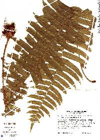 Cyclopeltis semicordata image