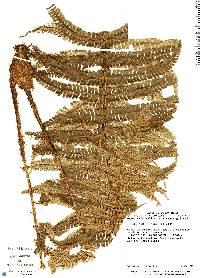Dryopteris wallichiana image