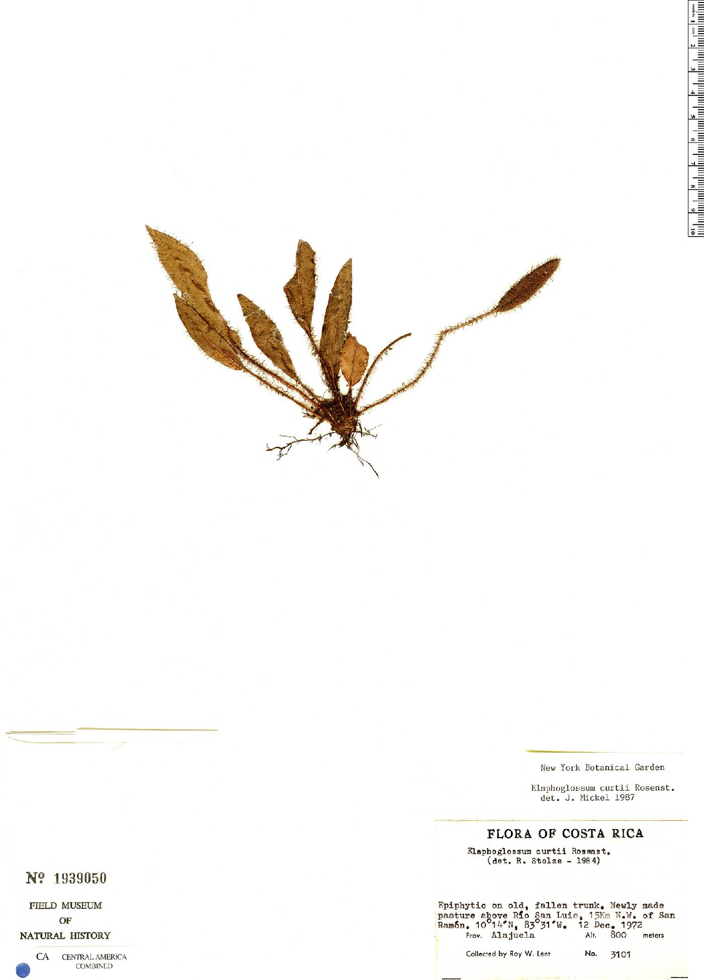 Elaphoglossum curtii image