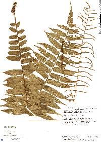 Lomariopsis fendleri image