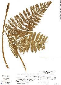 Megalastrum lunense image