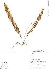 Nephrolepis pectinata image