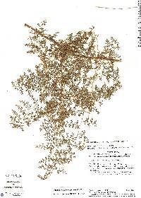 Odontosoria gymnogrammoides image