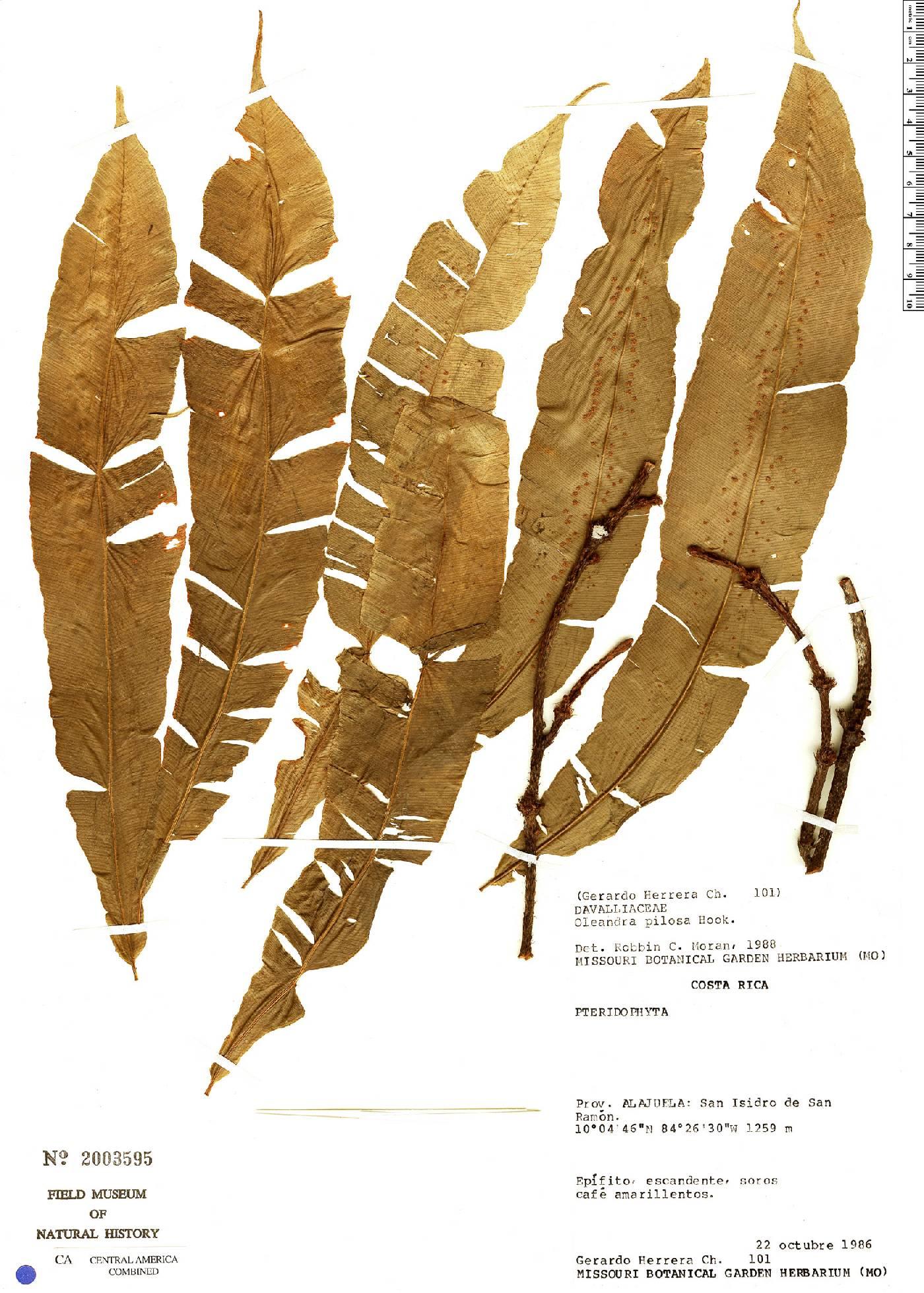 Oleandra pilosa image