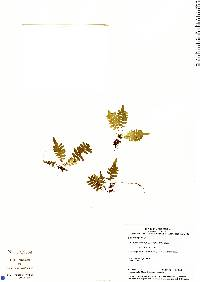 Pecluma hygrometrica image