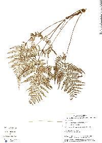 Pityrogramma dealbata image