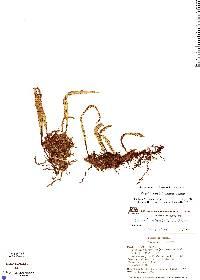 Pleopeltis astrolepis image