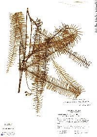 Sticherus remotus image
