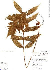 Stigmatopteris heterophlebia image