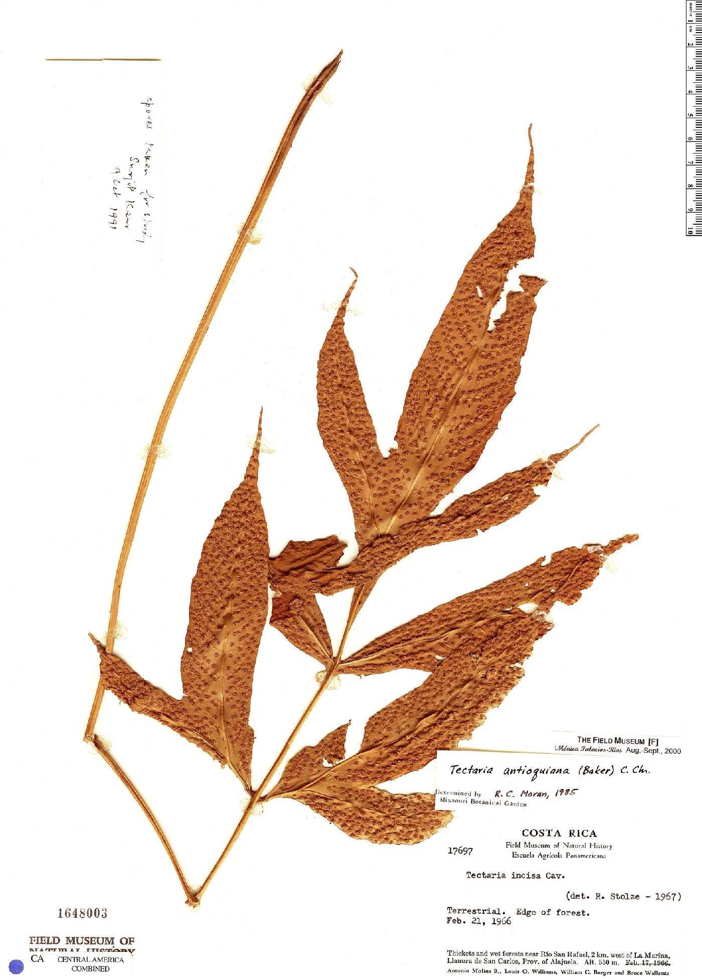 Tectaria antioquoiana image
