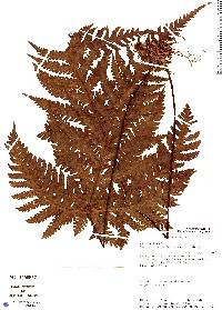 Tectaria brauniana image
