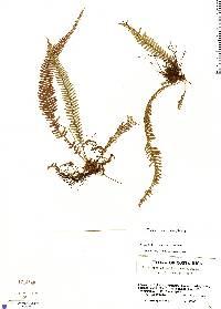 Image of Terpsichore alsopteris