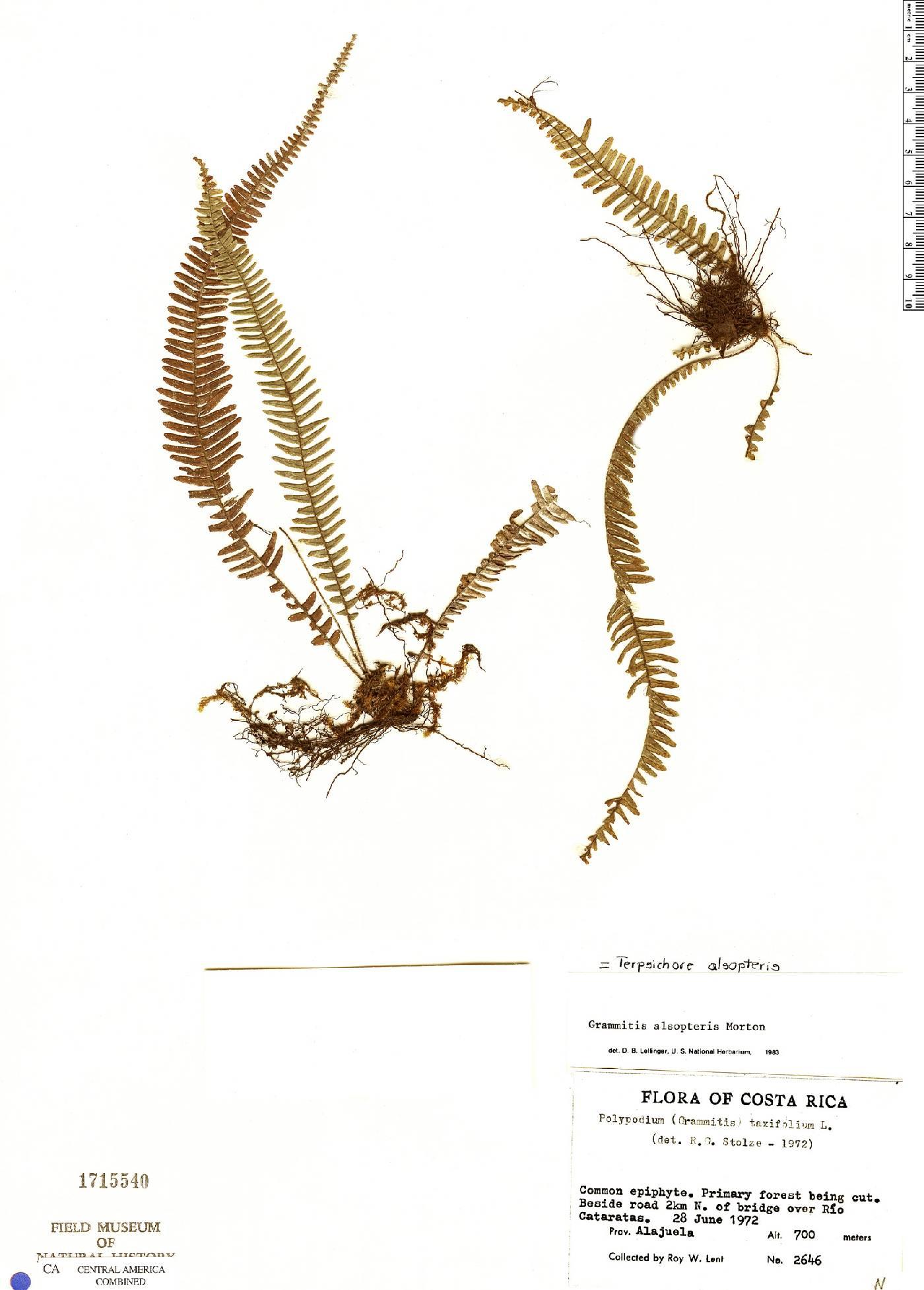 Terpsichore alsopteris image