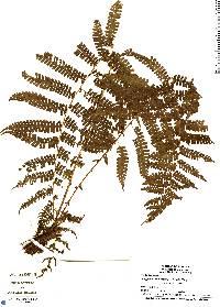 Thelypteris concinna image