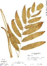 Thelypteris falcata image