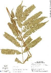 Thelypteris nicaraguensis image
