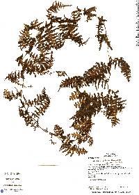 Trichomanes ankersii image