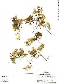 Didymoglossum krausii image