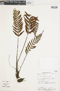 Asplenium auritum image