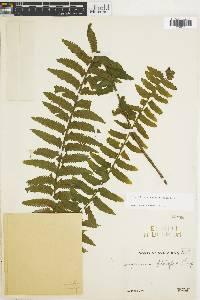 Asplenium rosenstockianum image