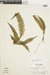 Blechnum polypodioides image