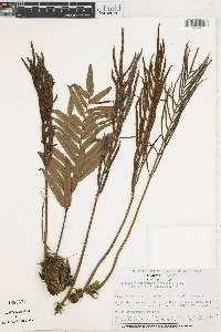 Blechnum costaricense image