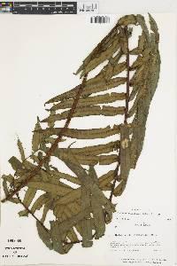Blechnum falciforme image
