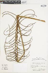 Image of Blechnum falciforme