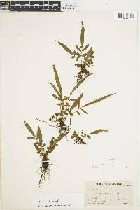 Blechnum fraxineum image