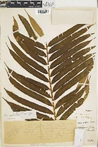 Blechnum schiedeanum image