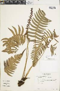 Blechnum sessilifolium image