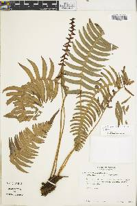 Image of Blechnum sessilifolium