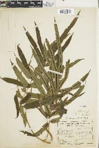 Blechnum volubile image