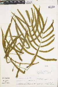 Salpichlaena volubilis image