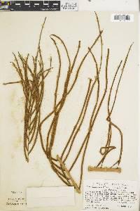 Blechnum wardiae image
