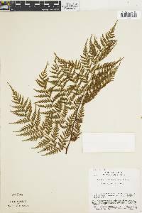 Culcita coniifolia image