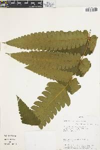 Cnemidaria choricarpa image