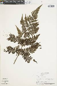 Cyathea frondosa image