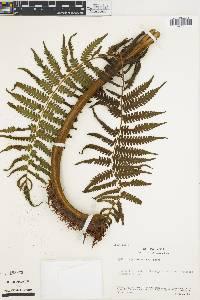 Cyathea chimborazensis image