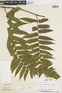 Image of Cyathea panamensis