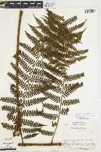 Cyathea squamulosa image